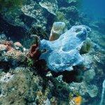 fogfish