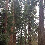 Avenue of Wellingtonia trees at the entrance