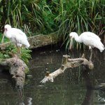 spoonbills in the aviary