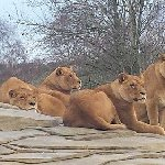Four x circus male lions ( been castrated so no hormones to grow manes, their front claws out