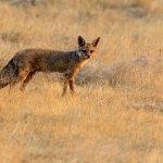 Fox early morning
