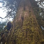 One of the many big trees...Douglas Fir I believe