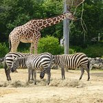 Arent giraffes tall compared to zebras