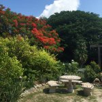 The Poinciana tree is in bloom from May through July