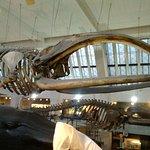 Le fameux squelette de cétacé