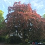 the magnificent copper beech
