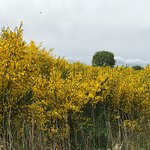Gorse and broom along all country roads