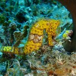On this dive, we saw 3 different seahorses, each a different color.