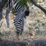 Zebras on game drive
