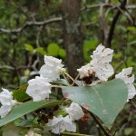 The mountain laurel was in bloom during our visit.