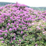 Visit in May for best views of Rhododendron
