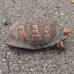 One of six box turtles we saw on the park and area roads