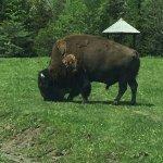 Buffalo just feet from the car.