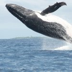 Whale shows her beautie