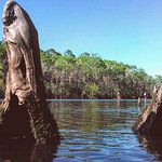 """""""Cypress Knees"""" are actually the roots of the cypress trees reaching out of the water for oxygen"""