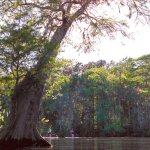 Did you know that the Cypress Tree can live to be over 1500 years old?
