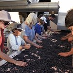 All Te Mata wines are handsorted and hand picked