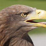 Yes, I was only a few feet away from this magnificent sea eagle when I took this picture!