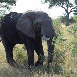 Elefante en Kruger!