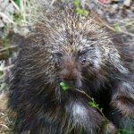 Mr Porcupine