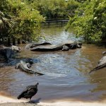 Huge Gators!!