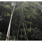 Bamboo Forest of Junshan Mountain