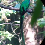 The Respendent Quetzal through the spotting scope.