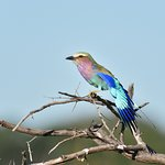 Pin Lilac Breasted Roller, the National bird of Zimbabwe