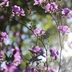 Highland Park Azaleas in May