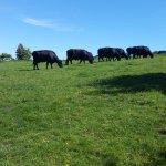 Local bovine