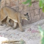 Mountain lion at the Arizona-Sonora Desert Museum