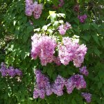 Many different colors and types of lilacs grow in the gardens.