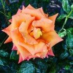 Photo de International Rose Test Garden