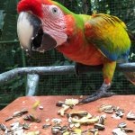 This Macaw can never be released, but he is in good hands and happy!