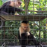 Capuchins having lunch.