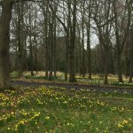 Daffodils at Howick