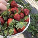 Early strawberry season