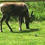 Reindeer (caribou) at Dartmoor Zoo