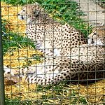 Cheetahs at the Dartmoor Zoo