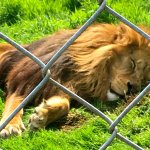 Lion taking a nap at the Dartmoor Zoo
