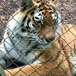 One of the Amur tigers
