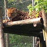 Elusive jaguar at the Dartmoor Zoo