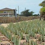Aloe field
