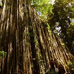 Aussies visit the Curtain Fig Tree National Park