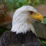 bald eagle in Zoo Atlanta