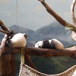 Twin giant panda cubs, Zoo Atlanta