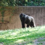 Gorilla, Zoo Atlanta