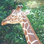 Beautiful giraffe, Zoo Atlanta