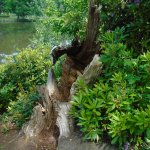 Mature tree (!) by the lake