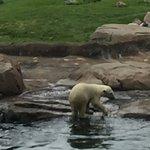 6 month old polar bear